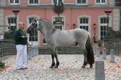 grey dun fjord horse - Google Search