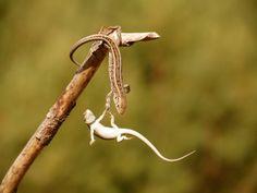 Awww. Lizards helping lizards.
