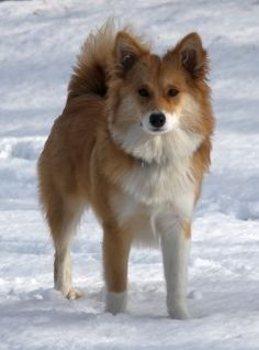 Truffle Lagsi Icelandic Sheepdog Litter