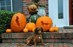 dachshund pumpkin <3