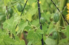 Cucamelon vines are super prolific, even in soggy old Britain. I plant mine about 10cm apart around a metal wigwam in a sunny location.