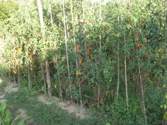 Pomodori Estate 2015  .............................Tomatoes Summer 2015