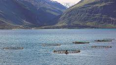 Tarttuva kalatauti pakottaa hävittämään kasvatuslohia Pohjois-Norjassa.