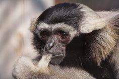 zwartkoplar  pileated gibbon