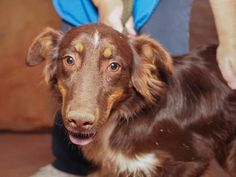 Adopt Steve, a lovely 1 year Dog available for adoption at Petango.com.  Steve is a Australian Shepherd and is available at the National Mill Dog Rescue in Colorado Springs, Co. www.milldogrescue... #adoptdontshop #puppymilldog #rescue #adoptyourfriendtoday