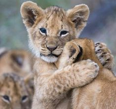 """""""Dis my brother and my snuggle bud!"""" #BigCatFamily"""