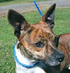 Tequila is an adoptable Chihuahua Dog in Chipley, FL. Tequila is a 2 year old male chihuahua - terrier cross, about 10 pounds He has the most beautiful brindle coat and an equally beautiful temperamen...