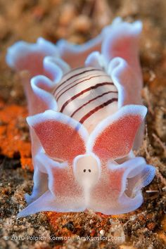 "Nudibranch - ""The Piglet"""