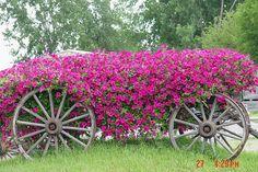 Fushia petunias on antique wagon