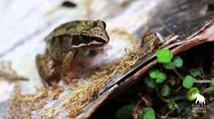 Wood Frog Tadpoles - How Quickly They Grow