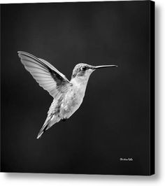Hummingbird Flyby Square Canvas Print / Canvas Art By Christina Rollo
