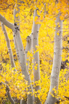The beautiful slender white trunks and yellow foliage of aspen trees. These are my most favorite tree. Aspen Trees, Birch Trees, Purple Home, Shades Of Yellow, Mellow Yellow, Color Yellow, Belle Photo, Autumn Leaves, Autumn Fall