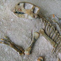 Psittacosaurus meileyingensis | Parrot Lizard Dinosaur | Cretaceous Dinosaur