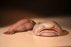 Blobfish Bizarre Ocean Creatures