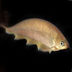 African Knife will not tolerate other knifefish but are generally peaceful with fish they do not consider food. Live Freshwater Fish, Creatures, African, Pets, Aquariums, Side View, Animals, Tanked Aquariums, Animales