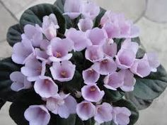 Image result for beautiful african violet houseplants