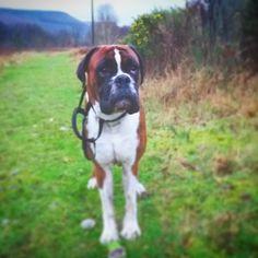 My little partner in crime #boxer #dog #insta #walkies...