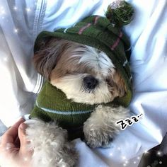 Snoozing after a hard days play! Cute Little Puppies, Cute Puppies, Cute Dogs, Dogs And Puppies, Doggies, Shih Tzu Dog, Shih Tzus, I Love Dogs, Puppy Love