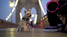 Pup Crawl Lights Up Leash-Dog & Leash on Brooklyn Bridge - great for those night time walks