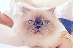 Alice.  Blue point himalayan