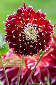 Akita, Garden Plants, Stock Photos, Photography, Dahlias, Photograph, Fotografie, Photoshoot, Fotografia