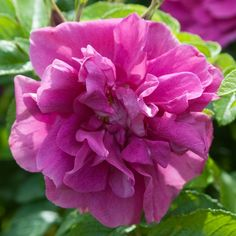 HANSA' Rosa Rugosa  Semi-double blooms of cerise-purple. Sweet spicy scent.Healthy leathery foliage. Good for hedging. Repeat flowering. Zone: 3-8S/9W	  Full Sun	Blooms In: Jun-Sep Height: 4-5 Spacing:5- Rugosa roses all derived from R. rugosa, a native of Japan and Siberia which is extremely hardy and exceptionally disease resistant with wonderful wrinkled foliage, a strong fragrance and an ability to repeat flower. Many varieties carry huge round red hips in autumn. ...
