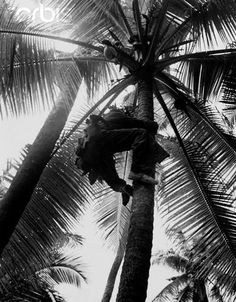 Marine sniper ascending a tree on Guadalcanal during World War II.