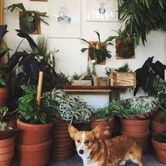 It's very important to have a corgi guarding the air plants at all times
