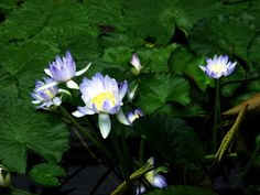 """Arika is a name from the Waka Waka people of south-east Queensland, meaning """"blue water lily"""". There are several species of blue water lily native to Queensland, and they are used as bush food, for all parts of the plant are edible. In Aboriginal mythology, water lilies are a gift from the Rainbow Serpent, and sometimes in Indigenous astronomy, small stars were seen as water lily bulbs. In the novel Book of Dreams by Traci Harding, the meaning of the name is translated, and it says that in…"""