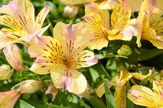 Alstroemeria 'Sunlight', Peruvian Lily 'Sunlight', Lily of the Inca 'Sunlight', Parrot Lily 'Sunlight', Alstroemeria 'Tessunlight', Yellow Lily, Yellow Peruvian Lily, Yellow Alstroemeria, Lily flower, Lily Flower