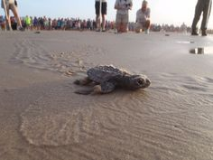 Public releases of turtle hatchlings at Padre Island National Seashore. NPS Image. #FindYourPark