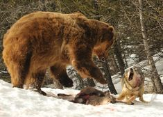 ~Freedom~ | Wolf Challenges Feeding Bear (wolf and bear) by...