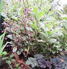 Frosted Violet Coral Bells Heuchera 'Frosted Violet'