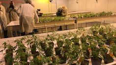 State-of-the-art marijuana production facility opens its doors in Pointe-Claire
