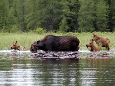 Moose Triplets in Algonquin Park, a rare sighting indeed! Moose Pics, Moose Pictures, Animal Pictures, Majestic Animals, Animals Beautiful, Algonquin Park, Algonquin Camping, Ontario Parks, Deer Family