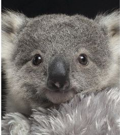 Zookeepers put life on hold to hand rear cute koala joey - It has not been easy for the couple with continual sleepless nights as Imogen is such a cheeky and - Cute Funny Animals, Cute Baby Animals, Animals And Pets, Wild Animals, Baby Koala, Baby Otters, Australian Animals, Tier Fotos, Cute Animal Pictures