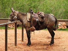 Grand Canyon Mule Tours