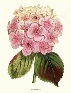 Antique botanical prints meticulously restored from century illustrations. Botanical Art at its absolute finest. Hortensia Hydrangea, Hydrangea Garden, Hydrangea Flower, Hydrangeas, Hydrangea Macrophylla, Vintage Botanical Prints, Botanical Art, Vintage Flower Prints, Art Floral