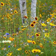Wild flower garden, with a birch tree, no less!