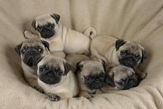 Pug puppy pile...nothing cuter!!!