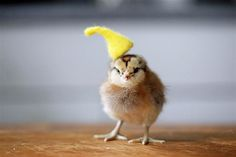 Just because: 11 pictures of chicks in hats - Pets & Animals - TODAY.com