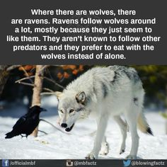 Nothing to do with my book, I just fin d it interesting, because Raven is the MC and his people are wolf shapeshifters. Raven And Wolf, She Wolf, Pet Raven, Facts About Wolves, Facts About Animals, Fun Facts About Dogs, Beautiful Creatures, Animals Beautiful, Pretty Animals