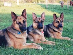 images of german shepherds - Google Search