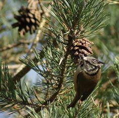 Kuifmees  (Van vroegevogels)