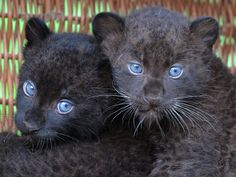 Baby jaguars are born with blue eyes and then change to gold
