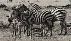 #africa one love black and white zebra's family