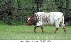 Brown And White Bull With Big Horns Walking Through The Field    #animals #farmlife #photo