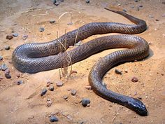 The Inland Taipan (Oxyuranus microlepidotus), also known as the Small Scaled Snake and Fierce Snake, is native to Australia and is regarded as the most venomous land snake in the world. It is a species of taipan belonging to the Elapidae family. Although highly venomous, it is very shy and reclusive, and always prefers to escape from trouble.