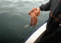 Octopus Tries To Hide By Blending In With The Boat