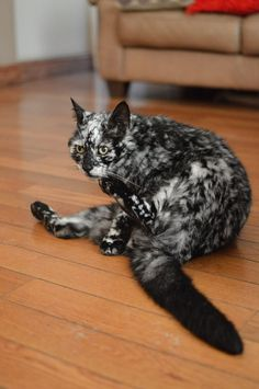 FELINE DEPIGMENTATION CONDITIONS VITILIGO LEUKODERMA - Meet scrappy 19 year old black cat grew unique marble fur due rare skin condition